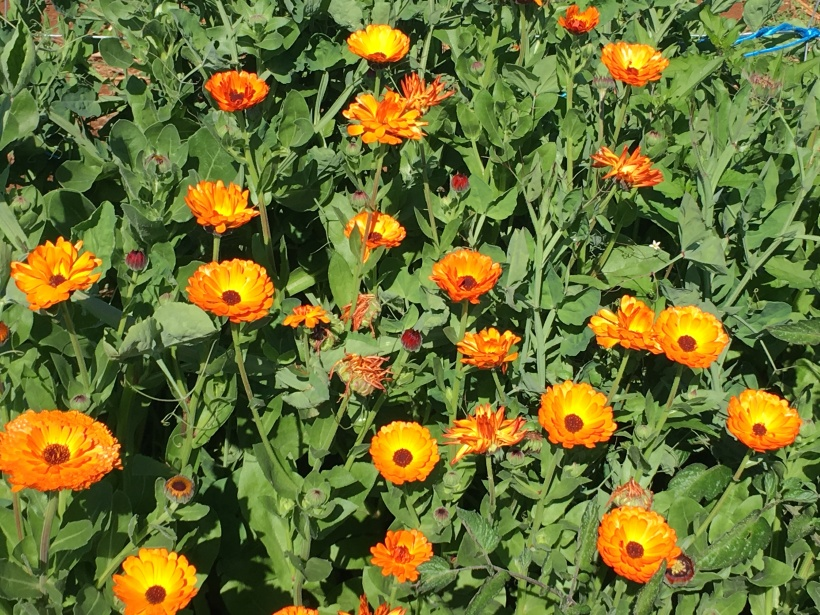 Calendula patch