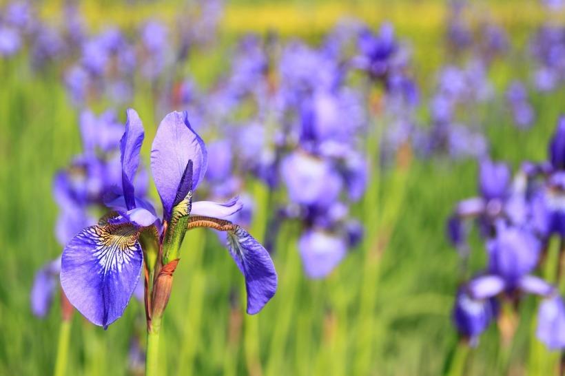 iris versicolor