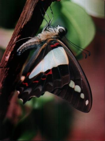 bluetrianglebutterfly remedy