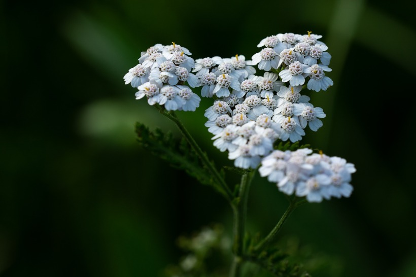 An Alchemical Journey with Yarrow