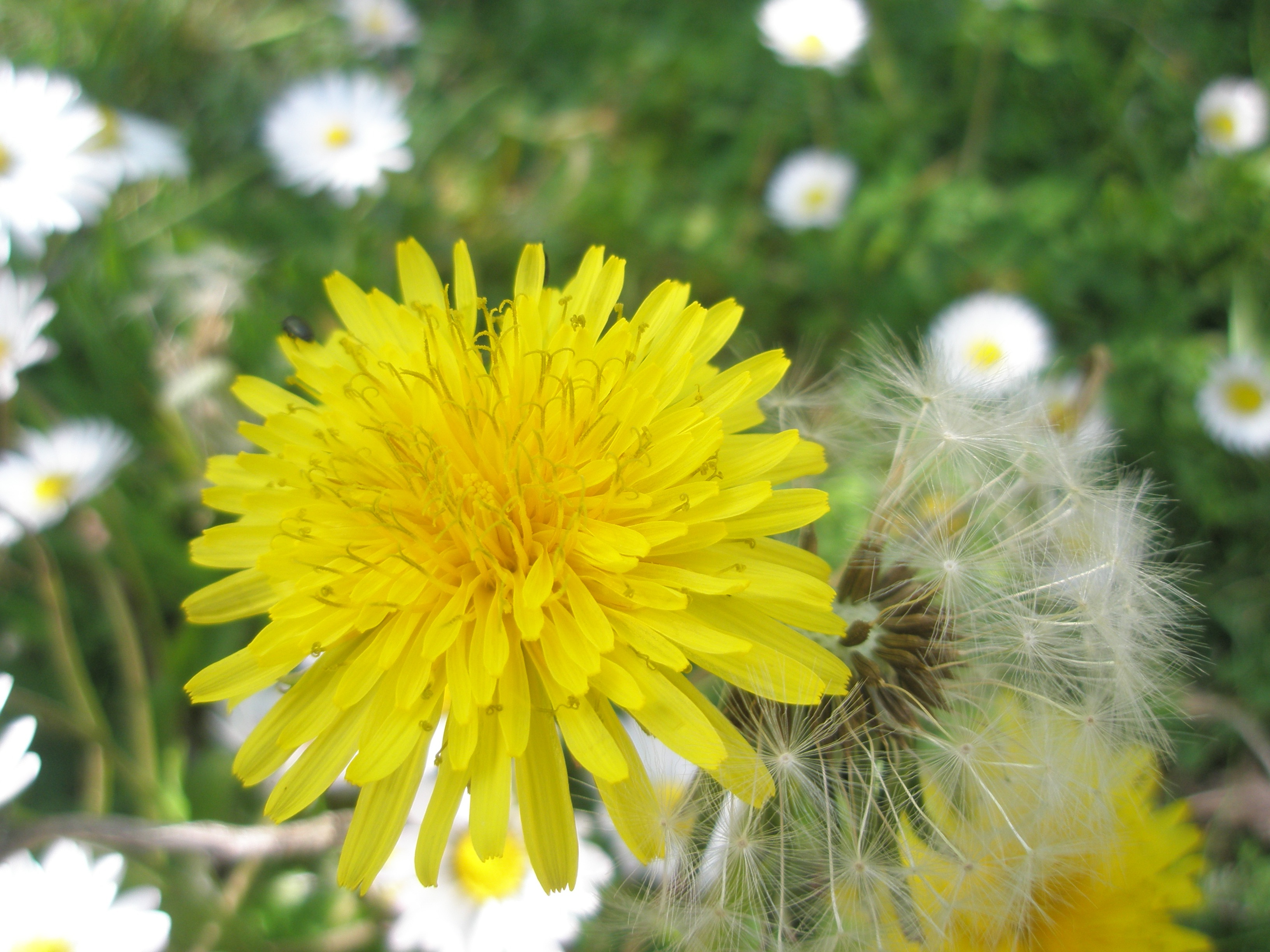 Dandelion Flower Code